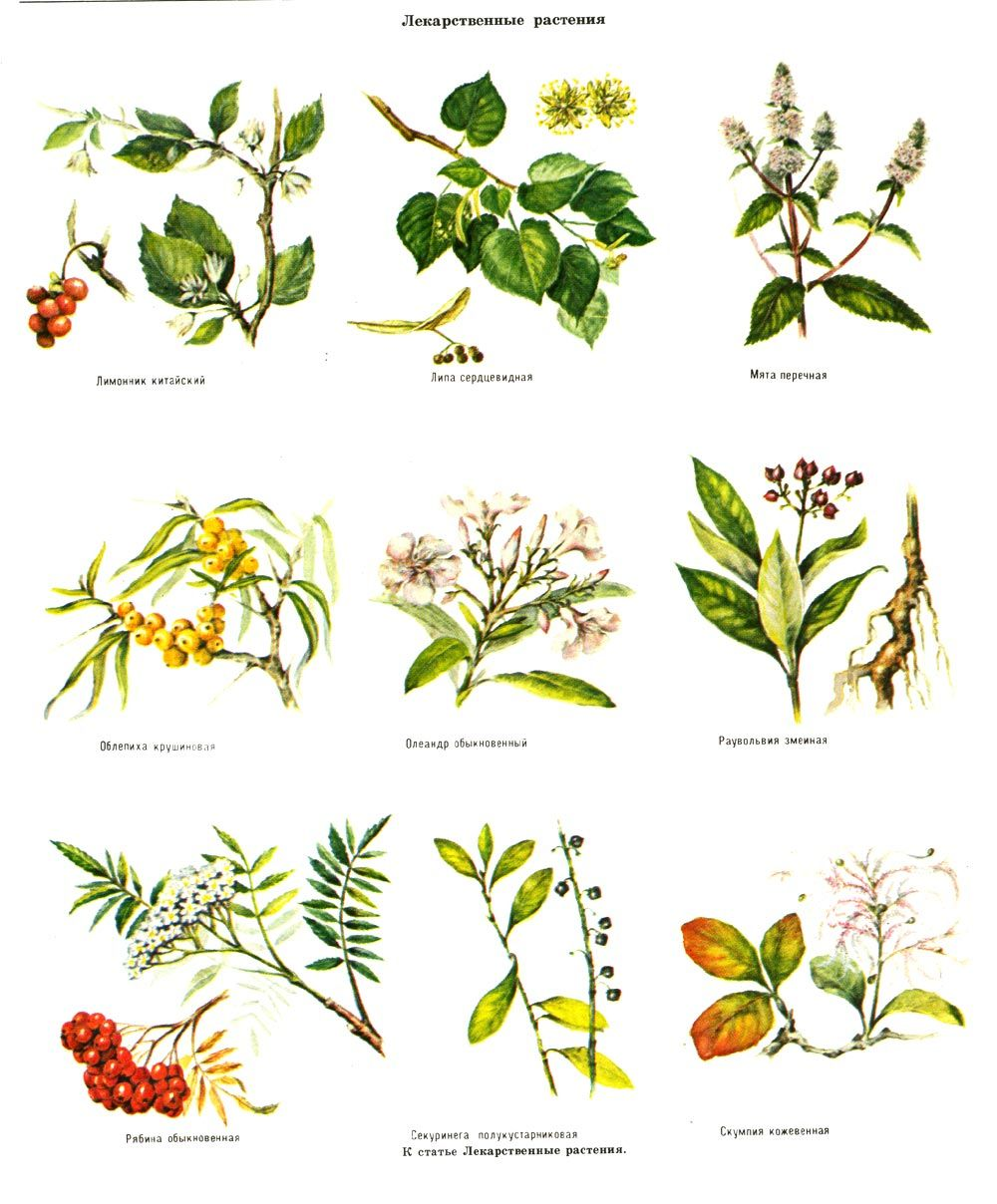 целебные травы в картинках с названиями себя