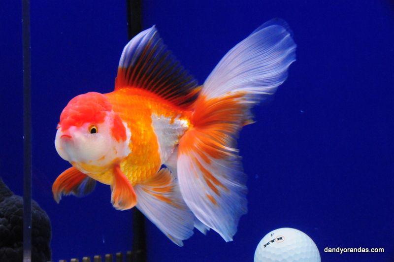 Red White Oranda Dandyorandas Com Oranda Goldfish Goldfish Aquarium Fish