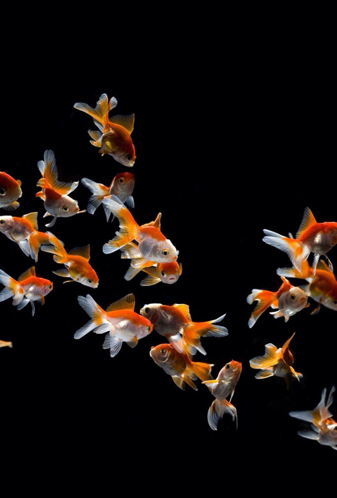 Goldfish Android Iphone Desktop Hd Backgrounds Wallpapers 1080p 4k In 2020 With Images Fish Wallpaper