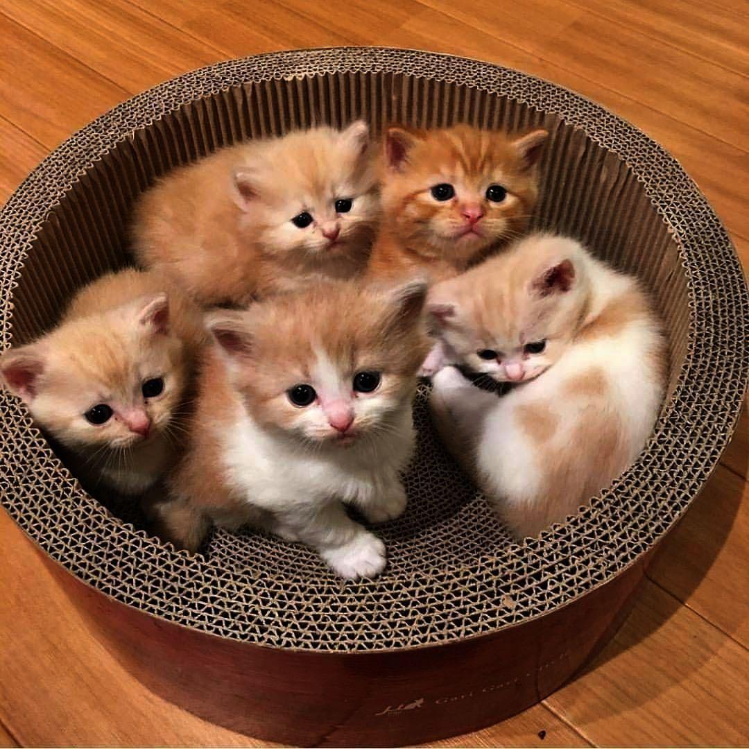 Kittens Game Hack Kittens For Adoption Kittens For Adoption In Los Angeles Kittens Cutest Cute Cats Animals