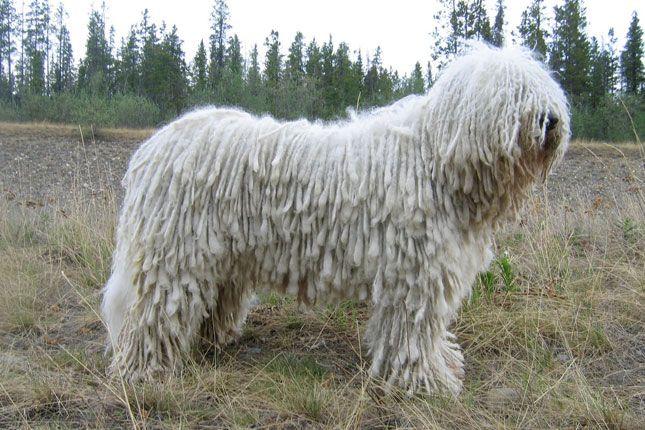 Koomoodor Dog Komondor Puppies For Sale Puppy Breeders Dog