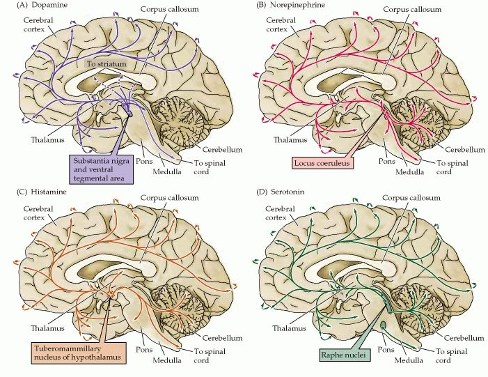 Figure 612 the distribution in the human brain of neurons and the distribution in the human brain of neurons and their projections arrows ccuart Choice Image