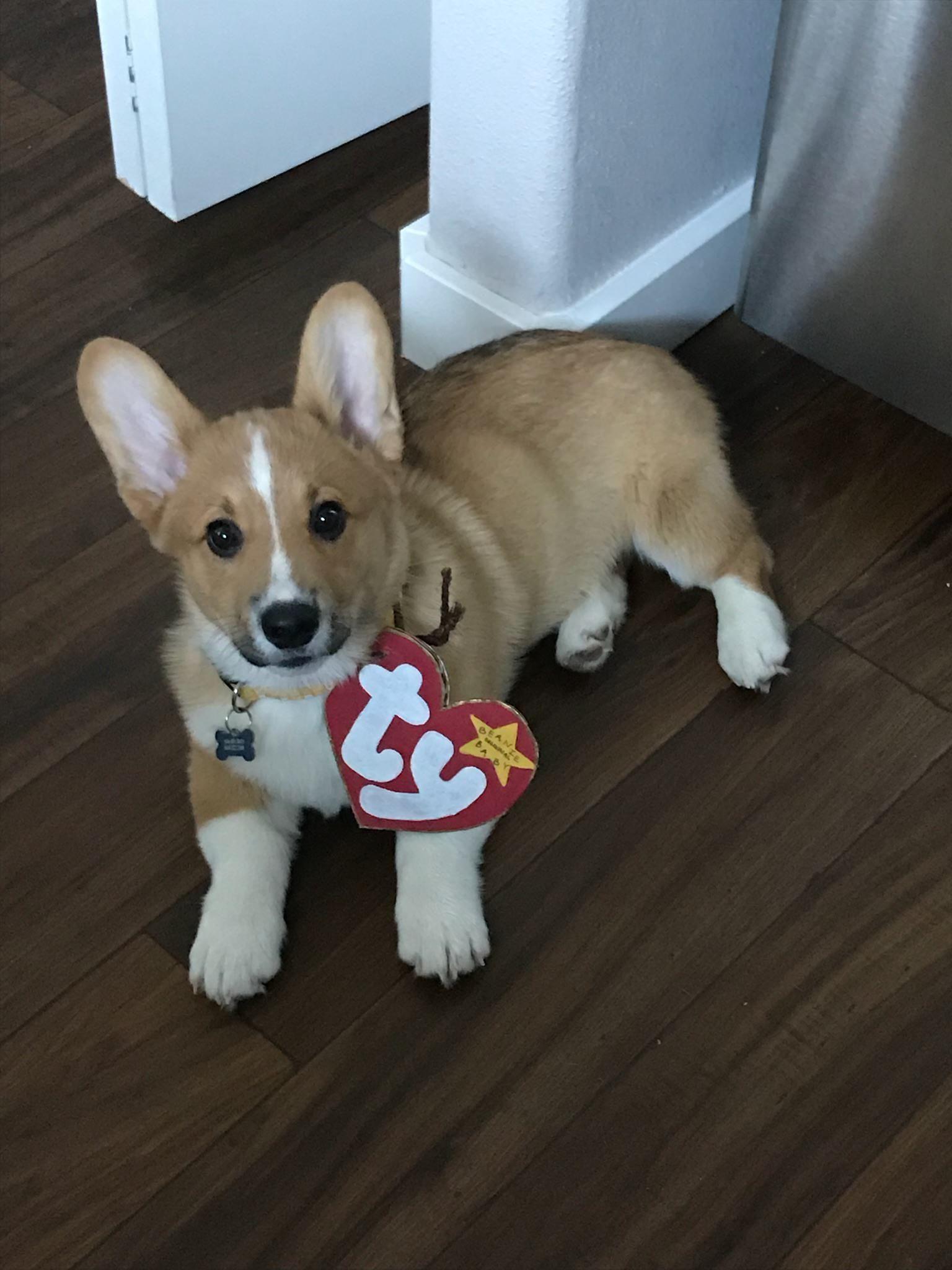 His Name Is Bean D Corgi Costume Corgi Puppy Halloween Costumes