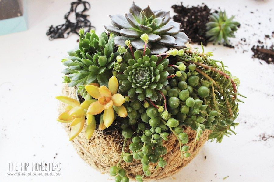How To Plant A Beautiful Succulent Kokedama Kit Potager