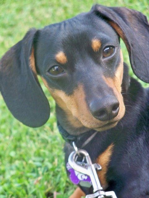Pictures Of Miniature Dachshund Dog Breed Animais De Estimacao