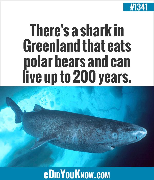 there s a shark in greenland that eats polar bears and can live up there s a shark in greenland that eats polar bears and can live up to 200 years