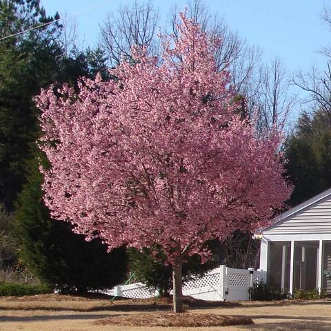 Okame Cherry Tree Flowering Cherry Tree Flowering Trees Fast Growing Trees