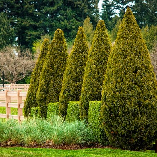 Spartan Juniper Privacy trees, Plants, Screen plants
