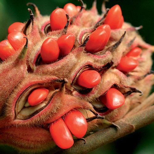 Magnolia grandiflora seed pods split open to allow fleshy