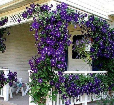 This Purple Vine Flower Is Lovely Growing Around This