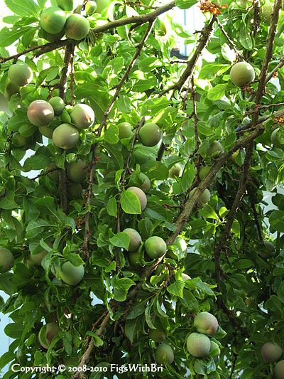 Pluot Tree Dle Dandy Full Sun Also Called Dinosaur Egg