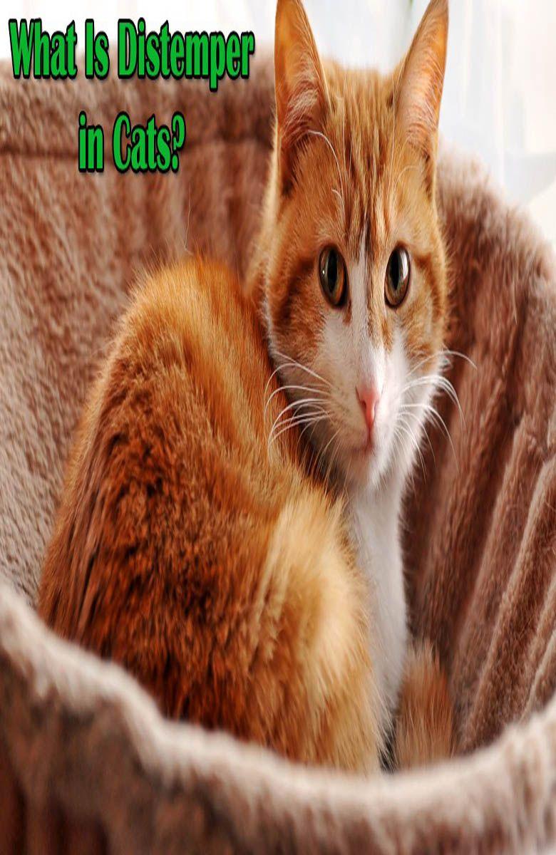 Cat Distemper Cats, Feline distemper, Cat health signs