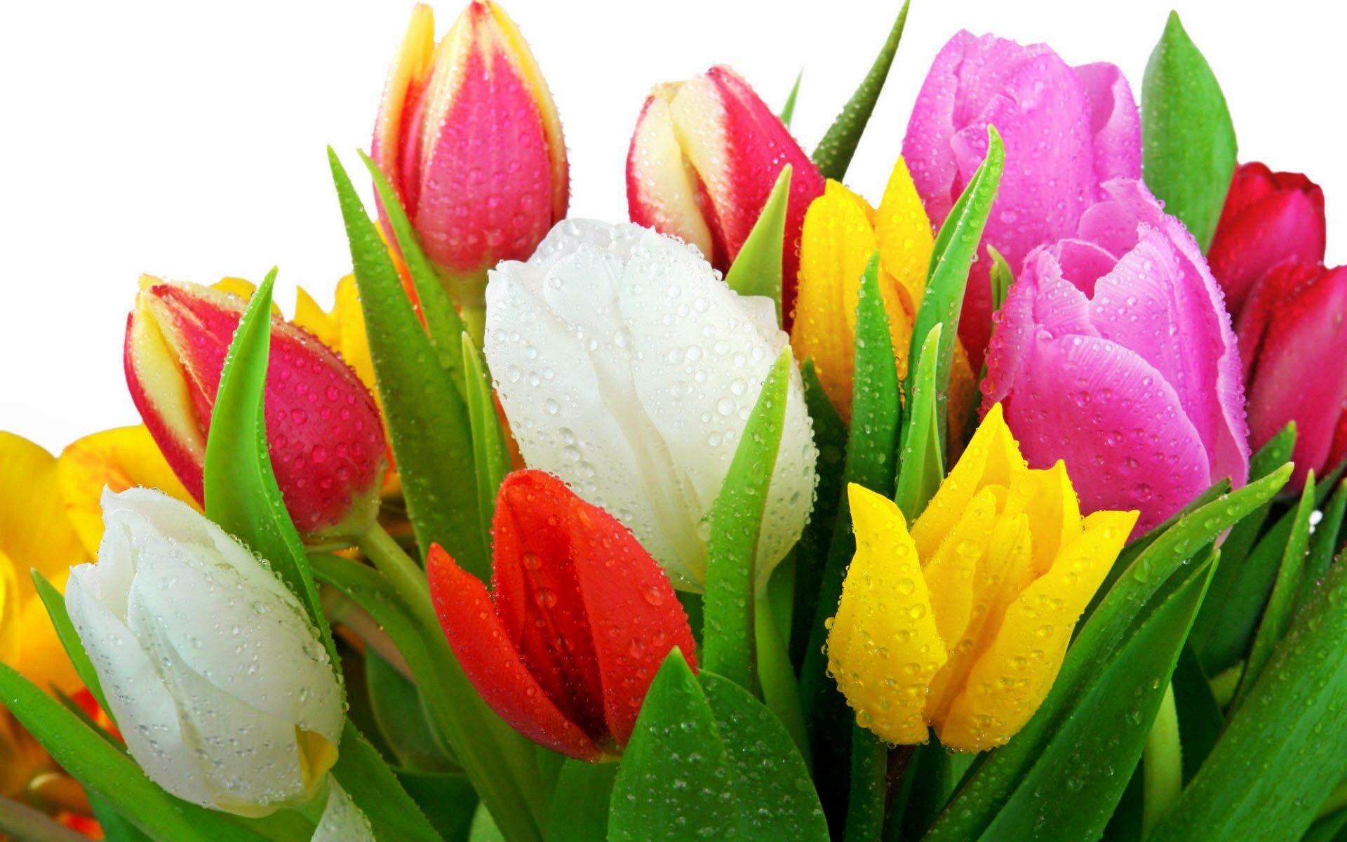 Tulip Flower Wallpaper Tulip Flower Pictures Free New Wallpapers Tulips Flowers Fresh Tulips Flowers