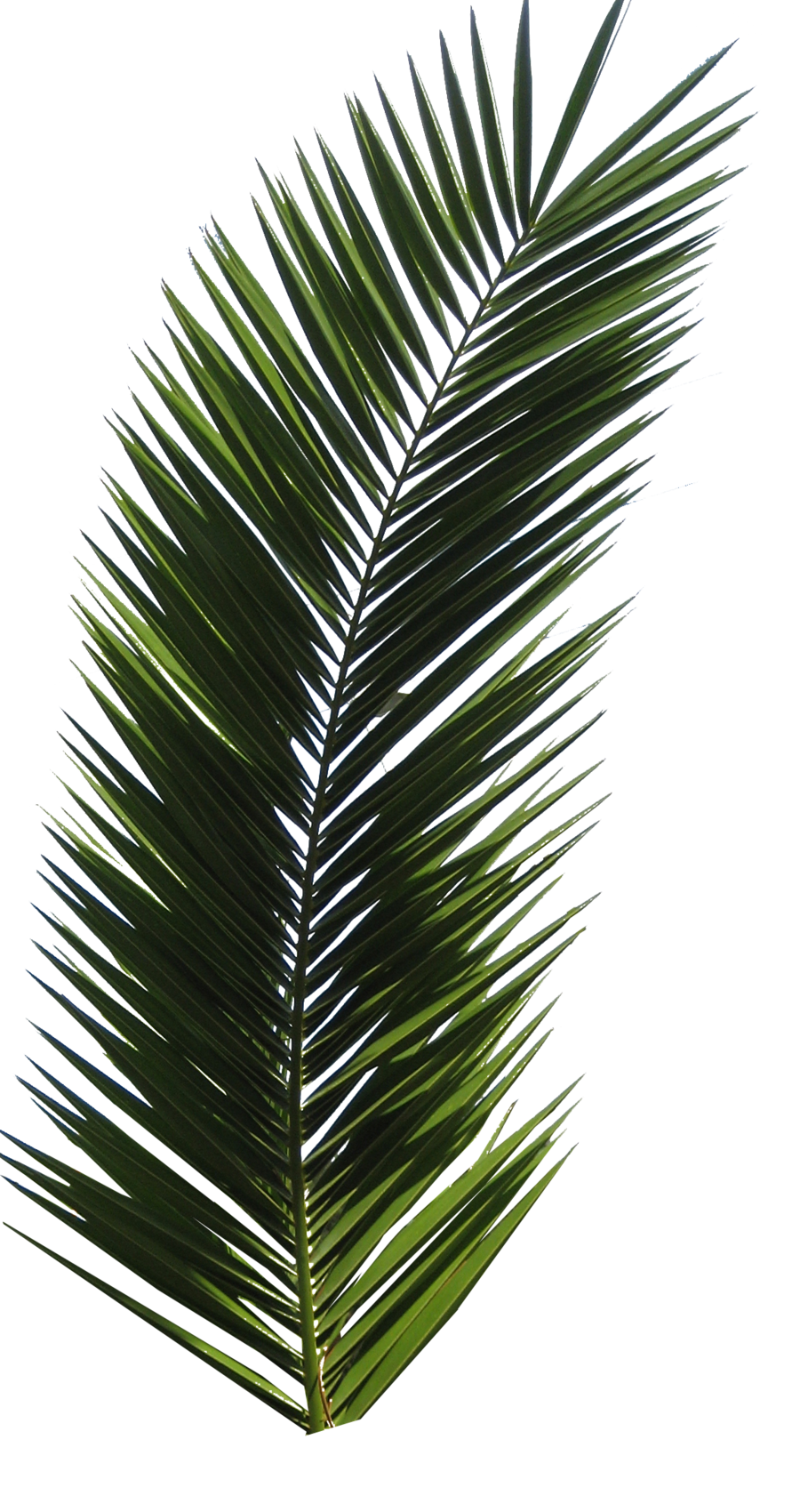 Palm Tree Tube Stock Vi Png By Digitaltwist On Deviantart Palm Tree Png Palm Tree Leaves Palm Tree Tattoo