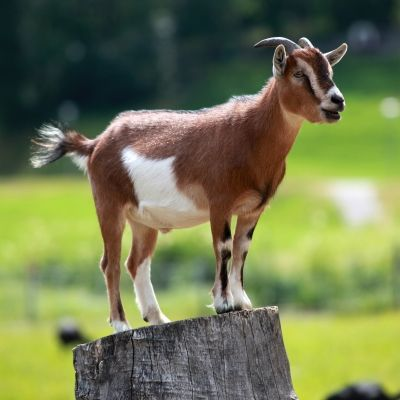 Raising Goats For Survival-Great Food Source For Long Term Survival