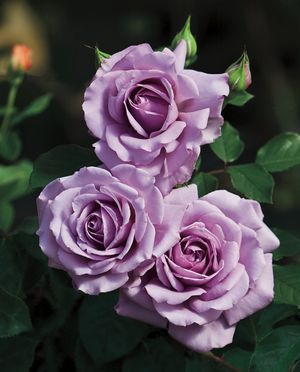 Rosa floribunda love song has lovely old fashioned flowers that pretty flowers mightylinksfo Images