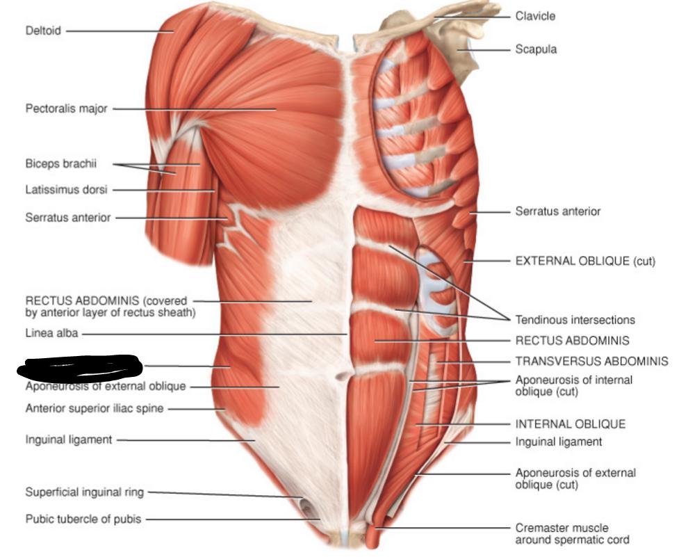 external oblique attach to rib | BIOL 235- Chapter 11- Muscular ...