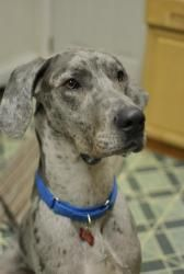 Adopt Nibbles On Great Dane Rescue Great Dane Dogs Merle Great