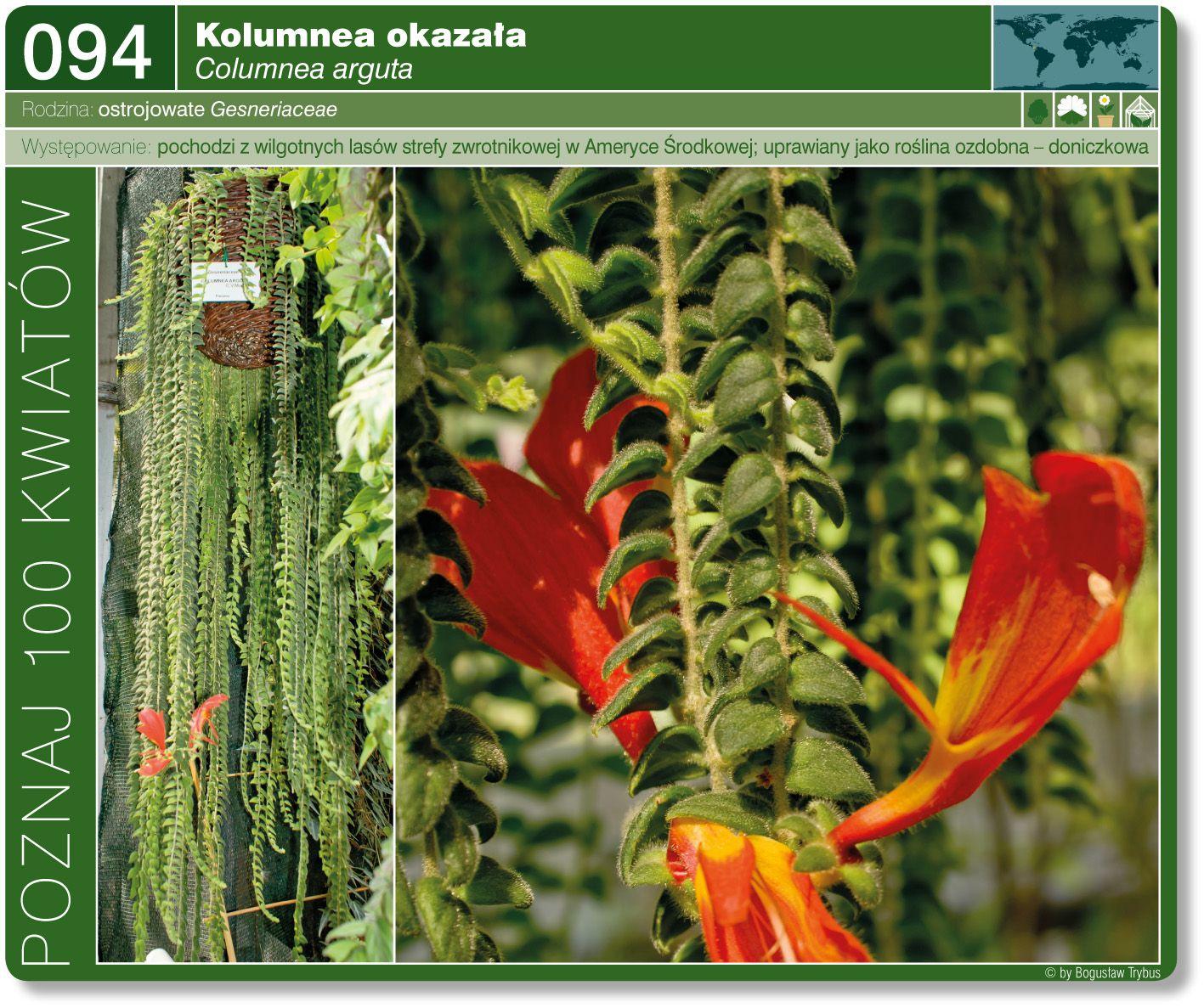 Kolumnea Okazala Plants Flowers Love Lies Bleeding