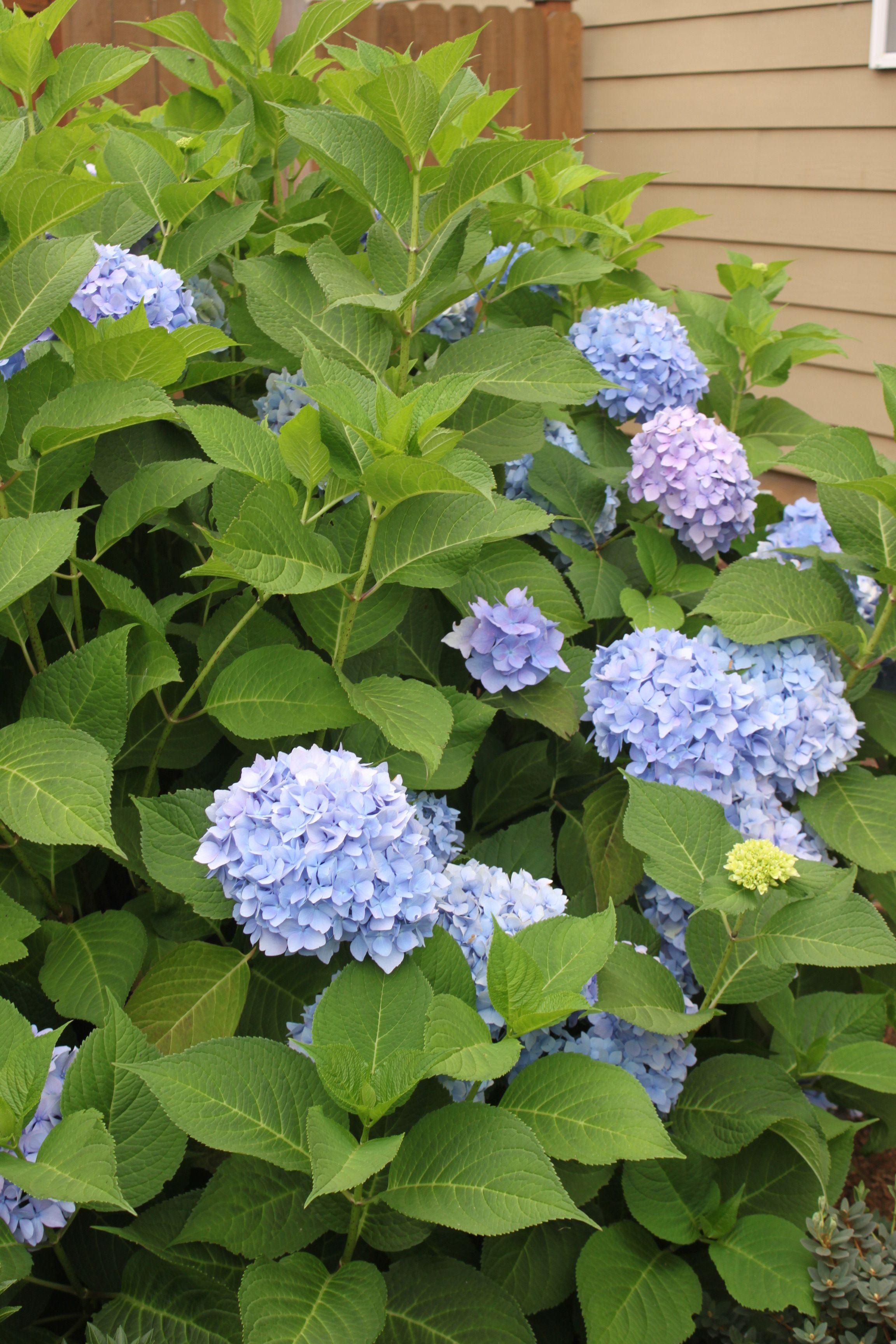 endless summer hydrangea plants pinterest hydrangea. Black Bedroom Furniture Sets. Home Design Ideas