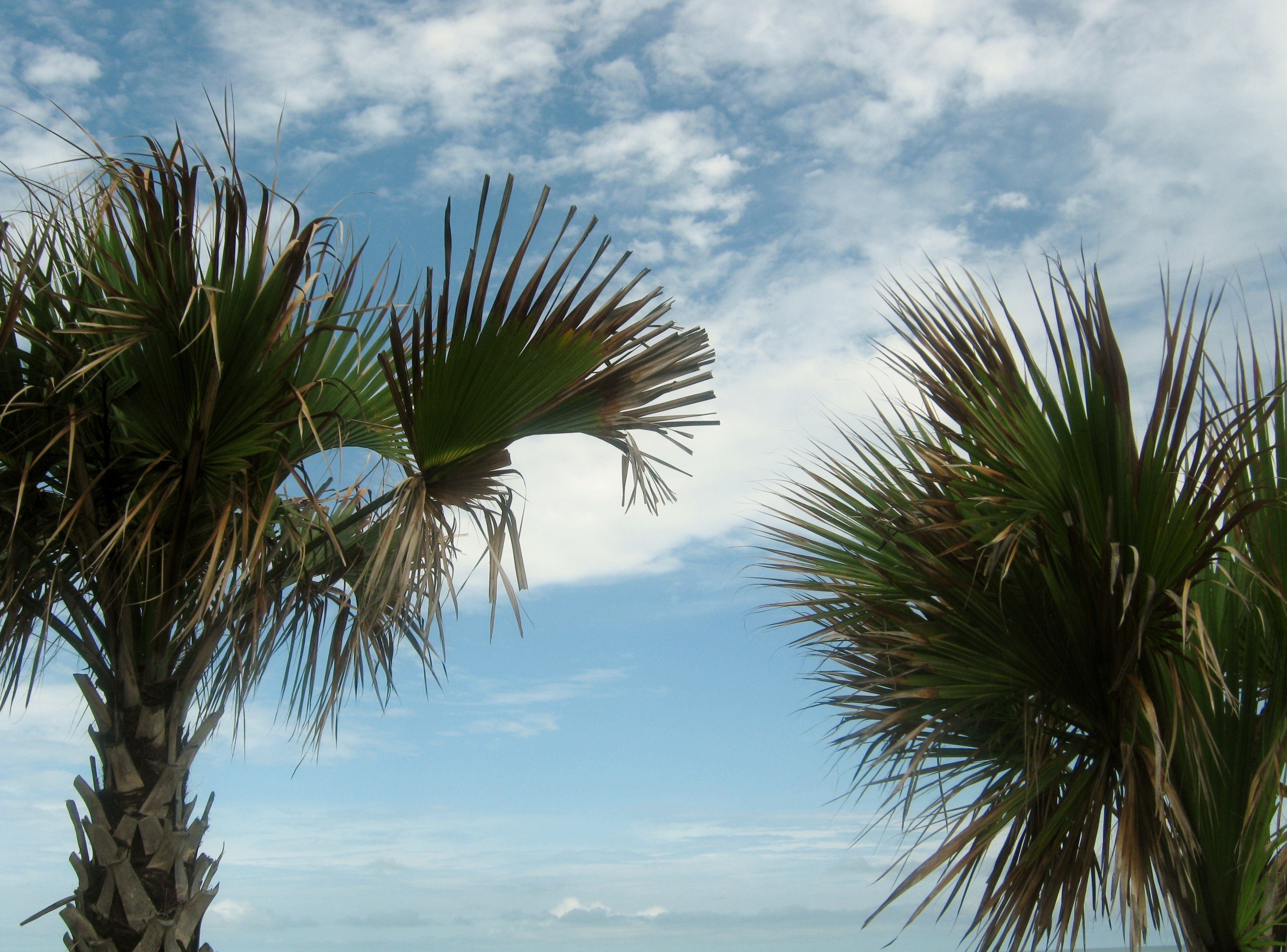 Pic Of Palm Trees Treesmyrtle Beach