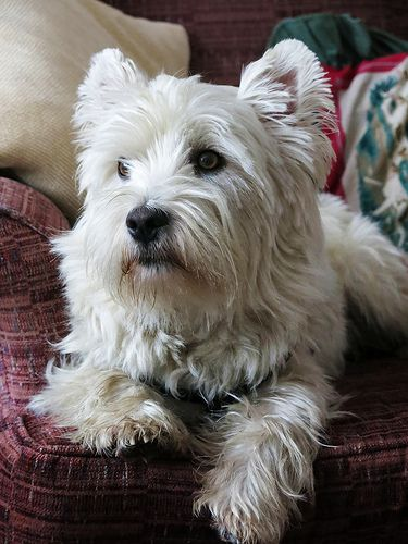 West Highland White Terrier Puppy Puppies Dogs Dog Pup