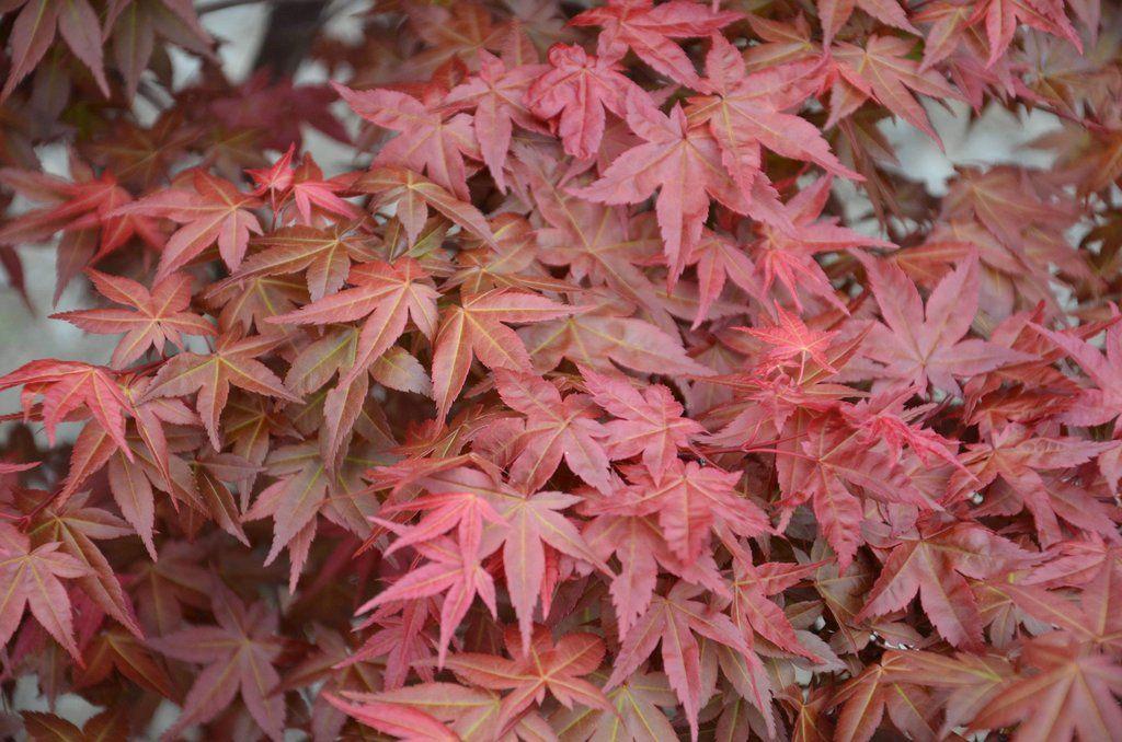 Acer palmatum 'Shin deshojo' Red Japanese Maple #japanesemaple