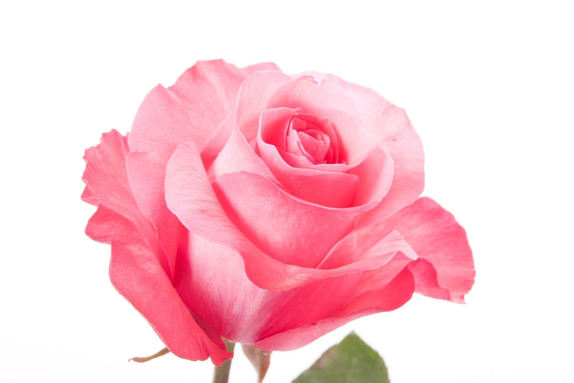 Pink Rose Pink Love Pink Roses Flower Muse With Images