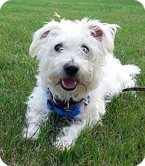 Today S Five O Clock Cuteness Is Scruffy A Cute As A Button Westie West Highland White Terrier West Highland White Terrier White Terrier Terrier Poodle Mix