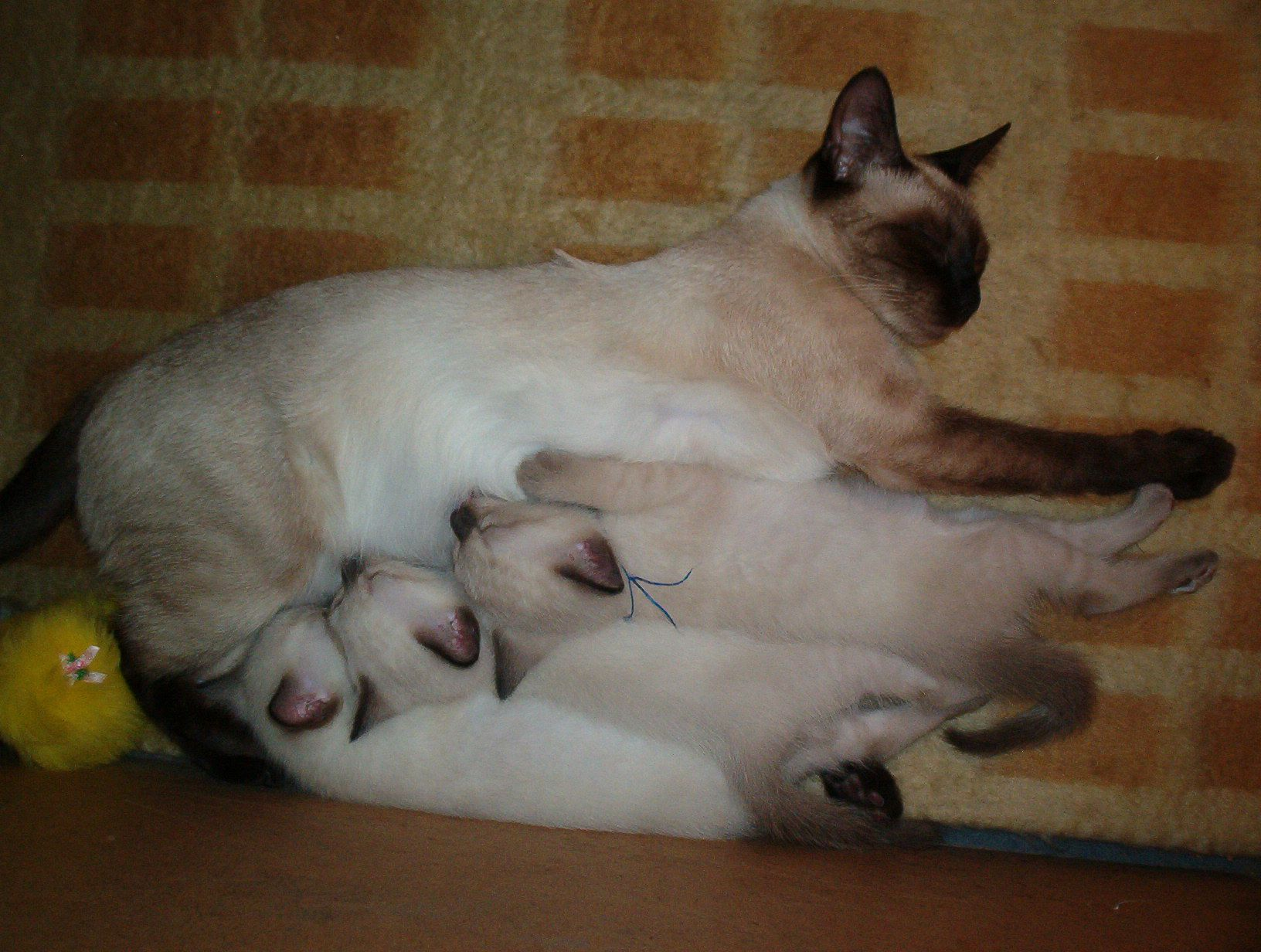 Newborn siamese kittens with their mom] ** Newborn? These are ...