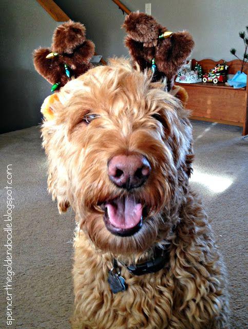Black Friday Deals Goldendoodle Poodle Mix Petco