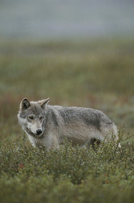 Alaskan grey wolf on the prowl for food.  Photo by Michael S. Quinton