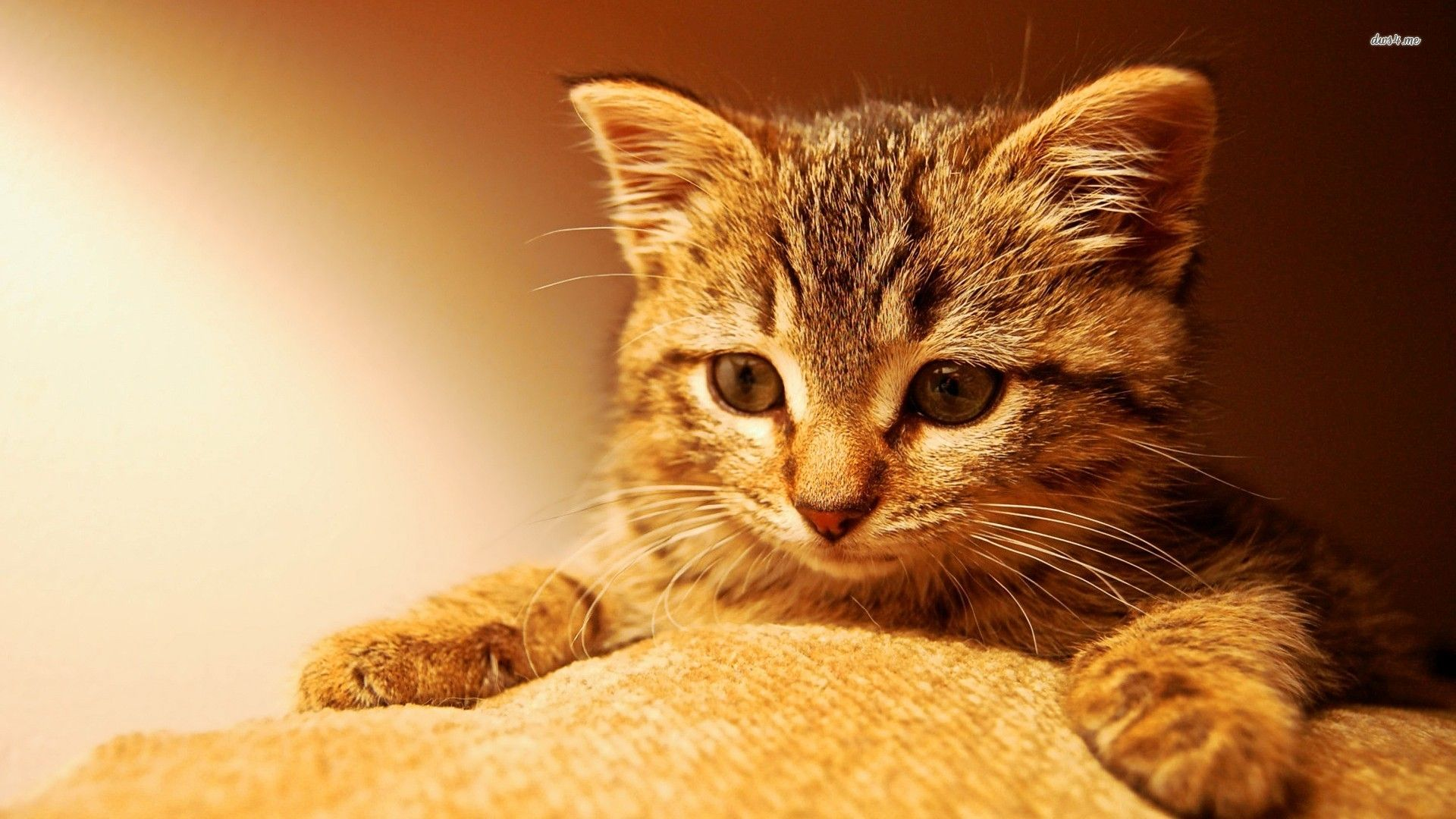 Kitten Wallpapers Android Apps On Google Play 1920x1080 Cute Pictures 44
