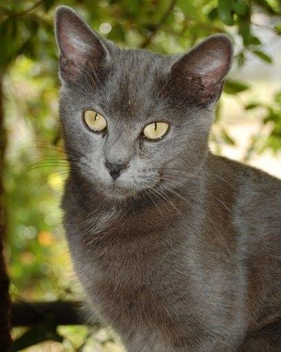 Items Similar To Grey Cat With Gold Eyes Feline Photo On Etsy Grey Cats Grey Kitten Cats