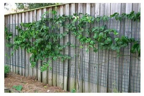 Use Wood Trellis Instead Of Plastic For Passion Fruit To Grow Up Side Of Shed Passionfruit Vine Growing Passion Fruit Passion Vine