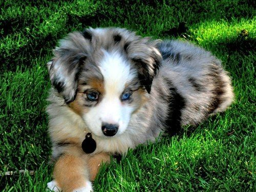 Australian Shepherd Australian Puppy Puppys Calico Puppy Australian Shepherd Puppies Animal F Aussie Puppies Dogs And Puppies Australian Shepherd Puppies