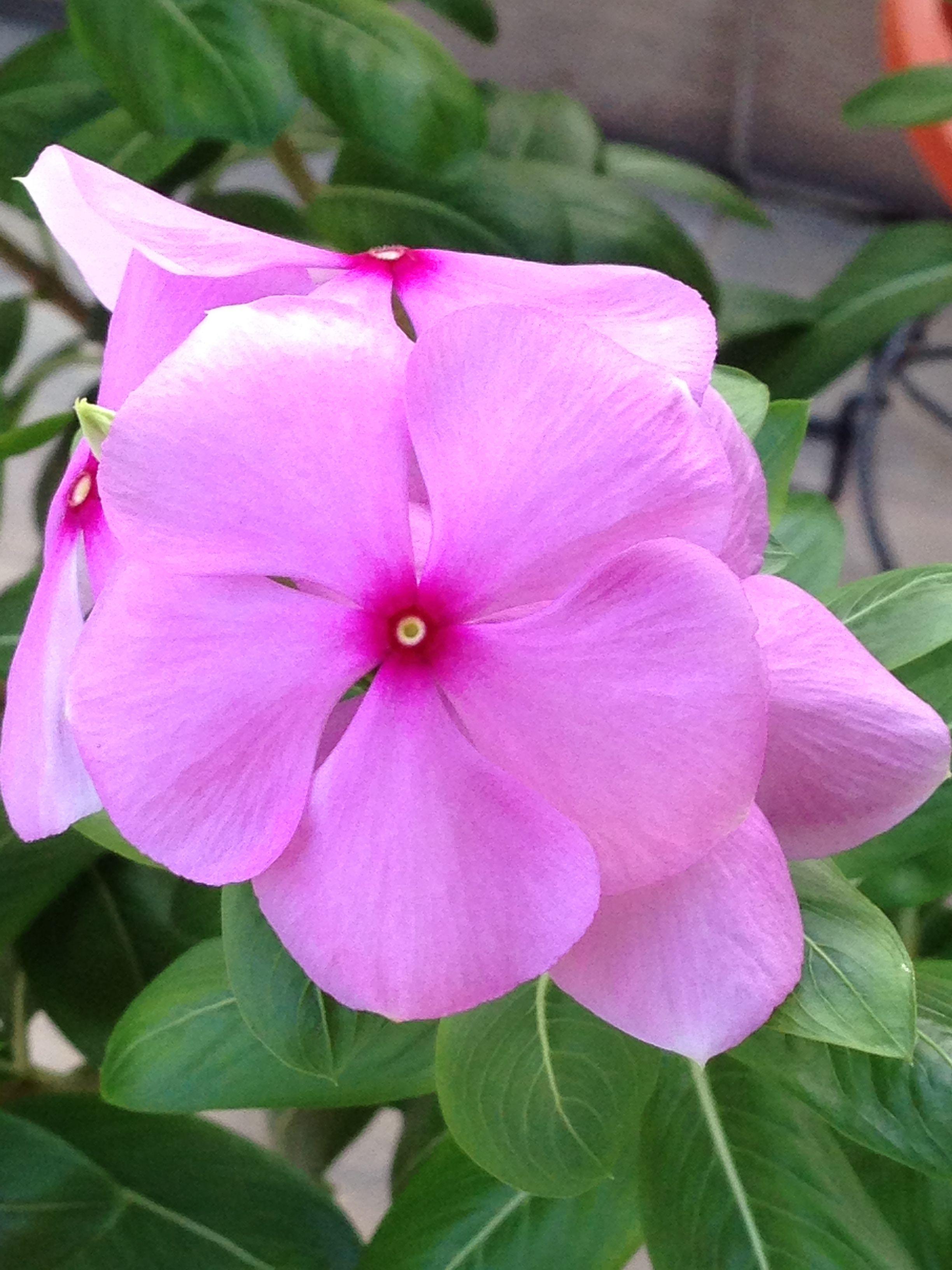 Periwinkle Flower My Flowers Pinterest Flower