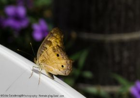 Butterfly-at-rest-Portraits-of-my-Land