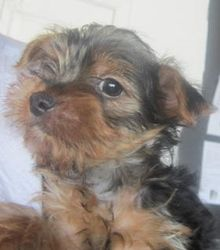Yorkie 2 Is An Adoptable Yorkshire Terrier Yorkie Dog In Kansas