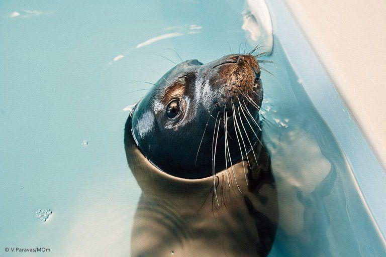 Hawaiian Monk Seal https://www.facebook.com/mom.gr/photos/a.10150476765268675.386774.54862028674/10153079856478675/?type=1