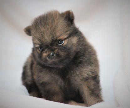 Pomeranian Puppy For Sale In Harrison Ar Adn 35041 On