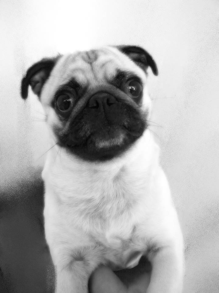 Happy Pug Happy Pug Pugs Pug Love