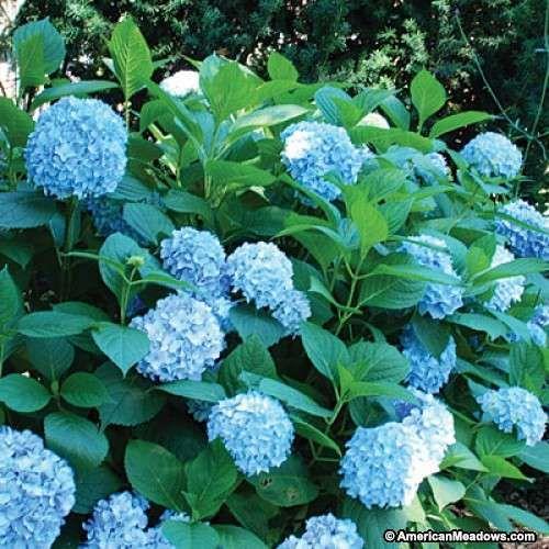 Best 25 mophead hydrangea ideas on pinterest care of hydrangeas when to plant hydrangeas and - Caring hydrangea garden ...