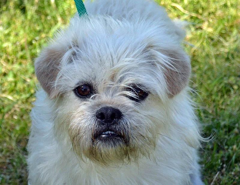 Adopt Scotty On Shih Tzu Dog Dogs Rescue Dogs