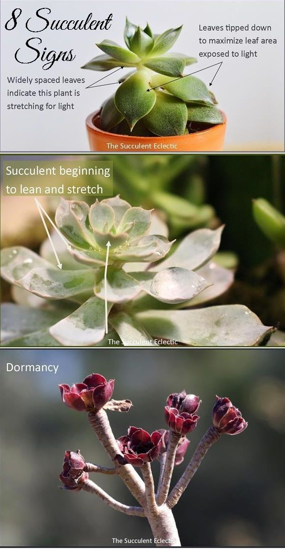 Improve your succulent care by learning to recognize and understand 8 signs your succulents display to show they are overwatered underwatered need more light more shade...
