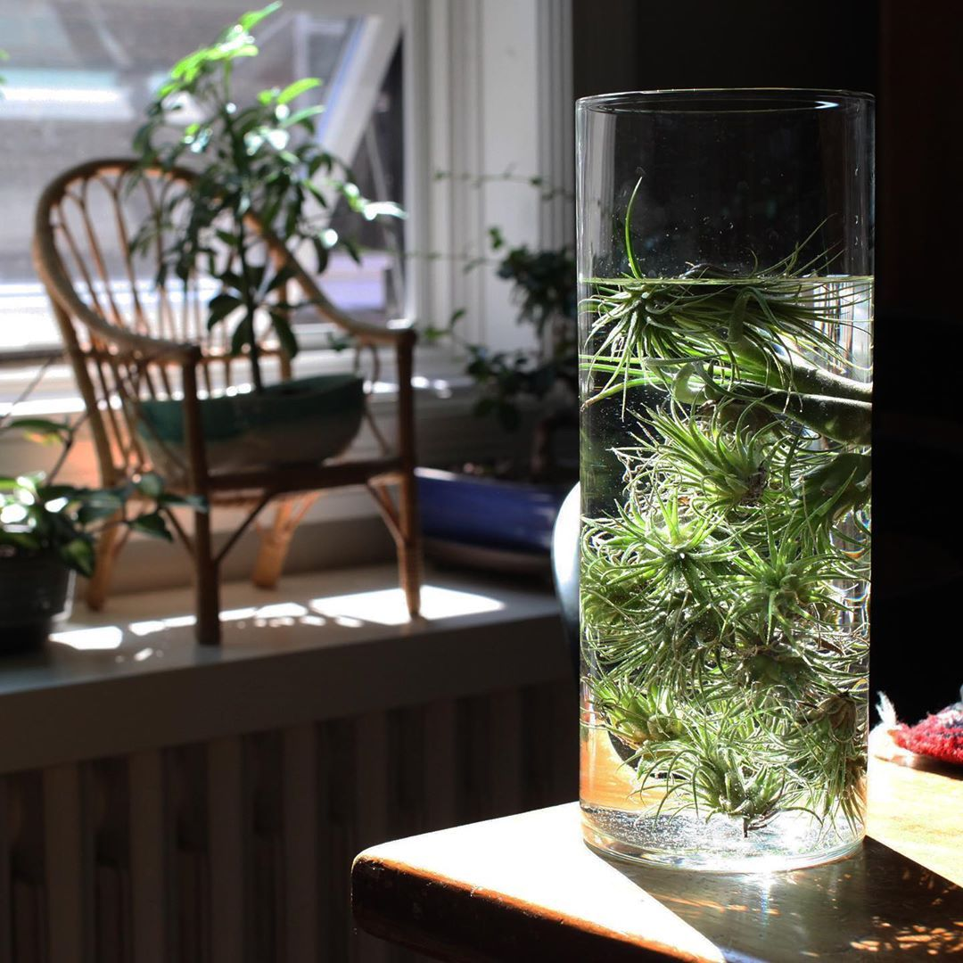 Weekly watering of the air plants. How do you water yours