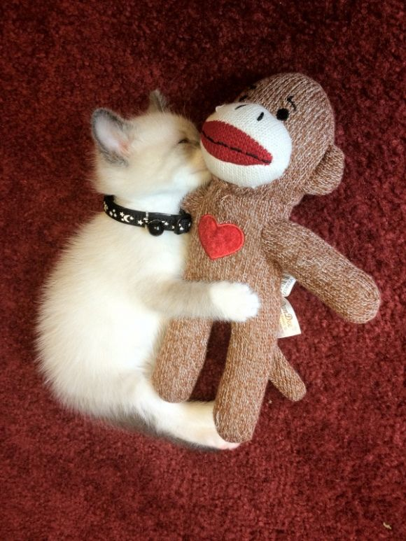 Sock Monkey Gets All My Cuddles And Secrets Cat Kitten Sockmonkey