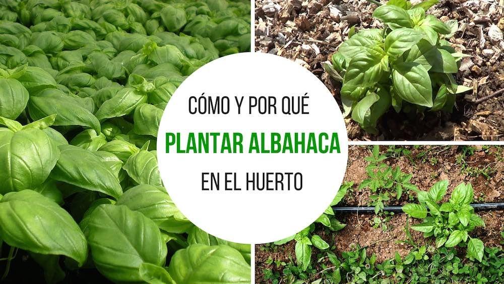 Cómo y por qué plantar albahaca en el huerto.