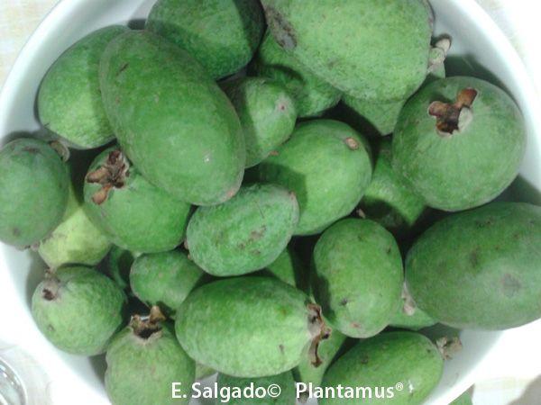 feijoa, guayabo de brasil. un perfume con forma de fruta. | mis