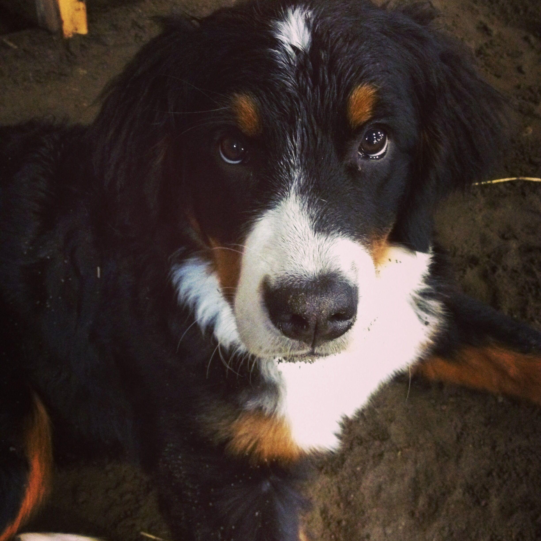 That face! Love my little girl ) Bernese mountain dog